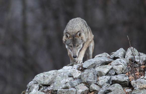 L'aritmetica del lupo