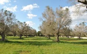 In difesa delle piante d'olivo