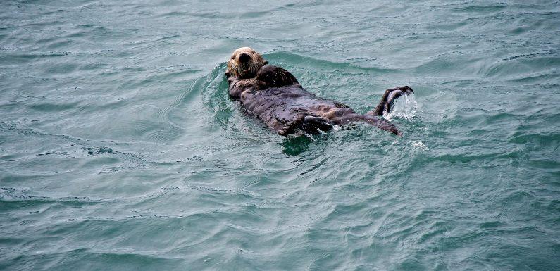 Alaska, come lo spopolamento delle lontre marine accelera gli effetti del cambiamento climatico