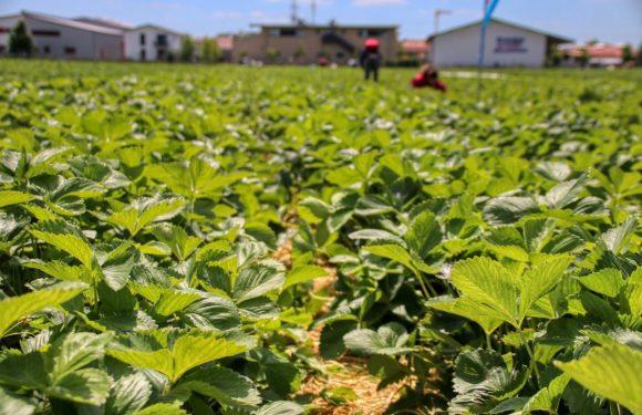 Da Saluzzo all'Agro Pontino, lo sfruttamento sistemico dei lavoratori migranti in agricoltura